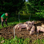 Biobauer Thomas Schwab und seine jüngsten Ferkel