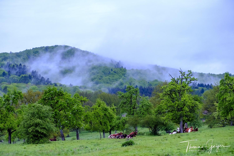 Rinder liegen unter alten Bäumen in der Morgenstimmung. Morgennebelfetzen hängen im Berg darüber