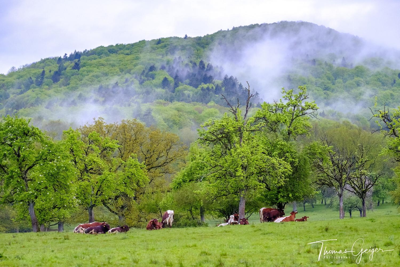 Rinder stehen und liegen unter alten Bäumen in der Morgenstimmung. Morgennebelfetzen hängen im Berg darüber